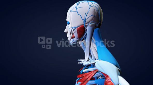 3D Model Human Anatomy Scan Left Side From Bottom Up
