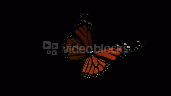 spinning wing butterfly