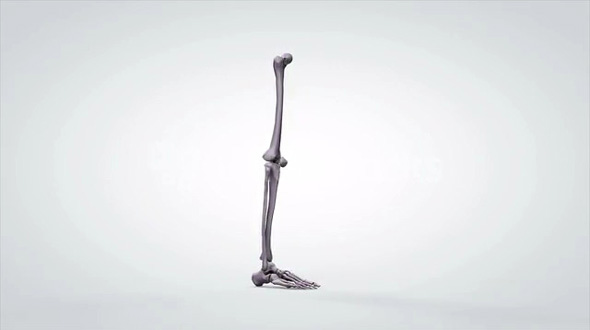 3D Rotating Anatomical Model Human Leg Bones