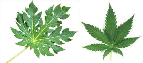 Hút lá đu đủ là gì và lá đu đủ có hút được không?