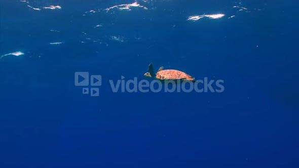 Sea Turtle Swimming in Open Water Near the Surface