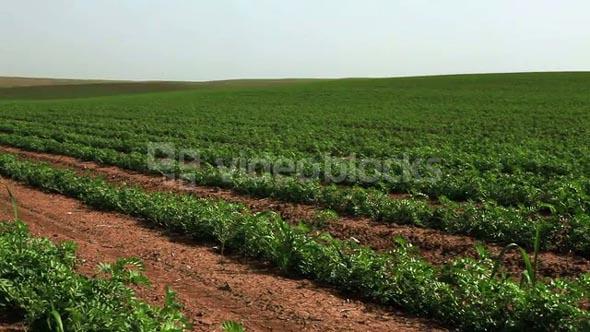 Green Vegetation in Desert Field 6