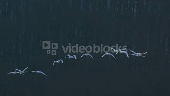 Slow Motion Swans Flying Against Trees