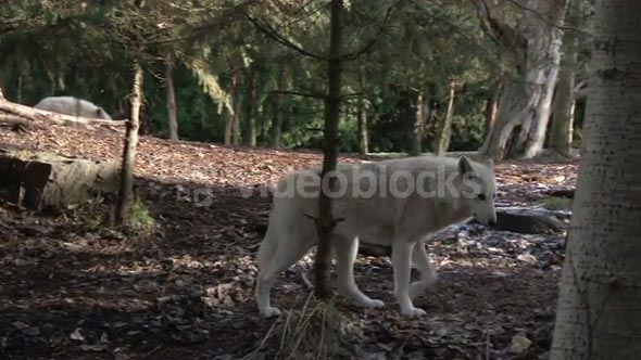 Wolf walks alone in the forest