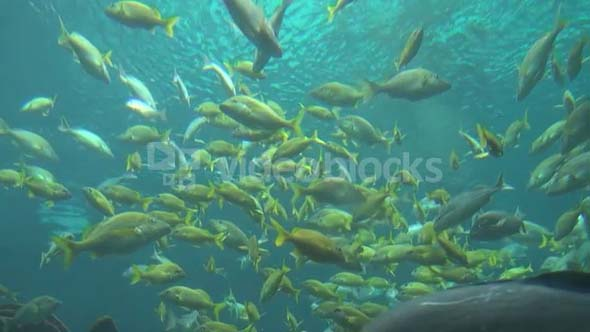 Groups of Fish Swimming Near Surface 2