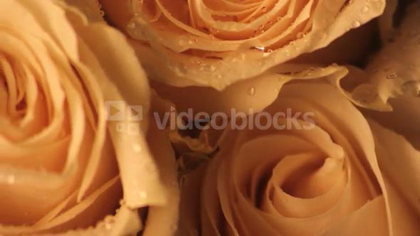 Rotating Wet White Rose Petal Super Close Up