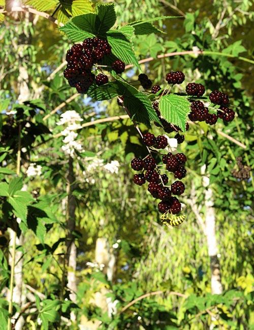 Bramble, Blackberry and Briar Plants for Daz Studio and Iray