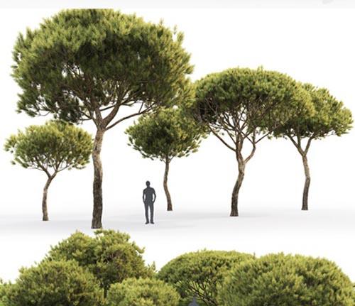 Pine Italian Pinea   Pinus Pinea # 4 (4.8-9.2m)
