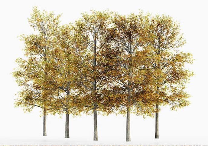Shingle Oak Fall tree collection 5 trees in the scene