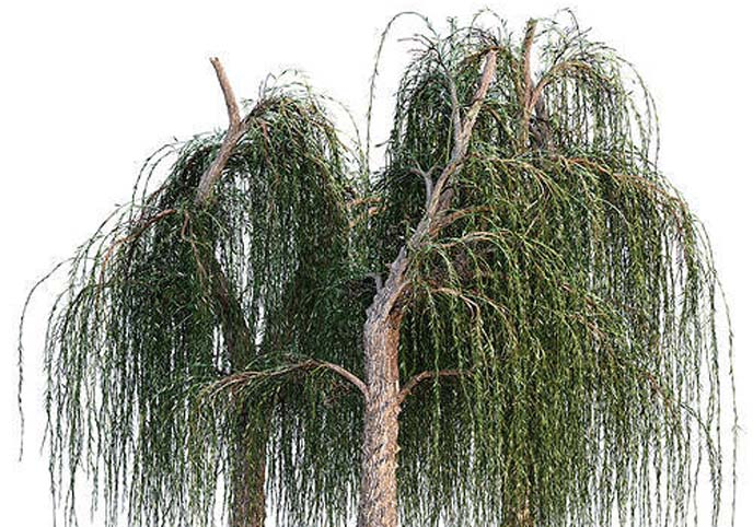 Weeping Willow tree collection 3 trees in the scene
