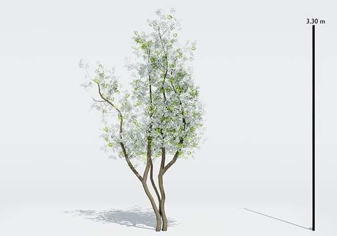 Tree Amelanchier Lamarcki Small
